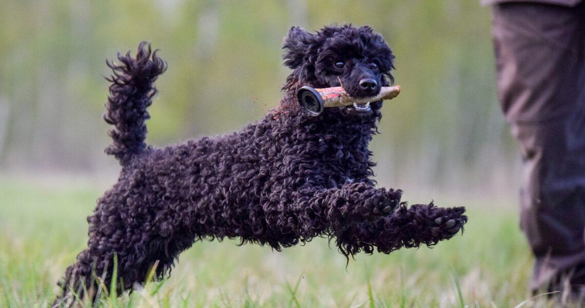 poodle, dog, play