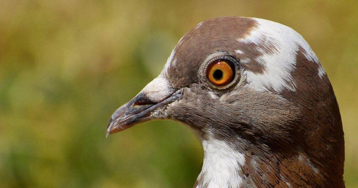 pigeon, portrait, bird